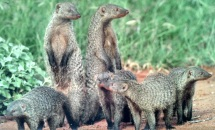 Are these meerkats?