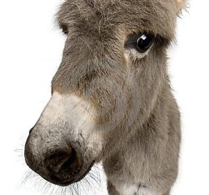 Donkey White Background