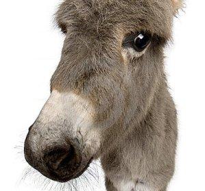 Donkey White Background